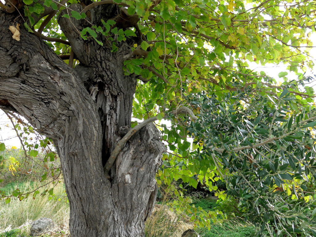 Olive and host tree