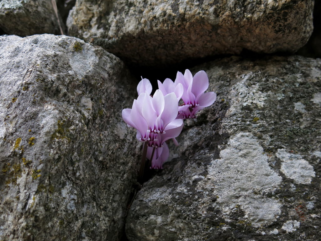Purple Flowers on Rock