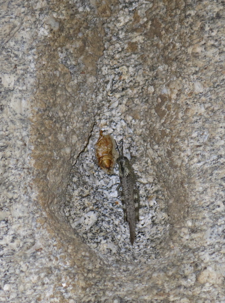 Boulder insect