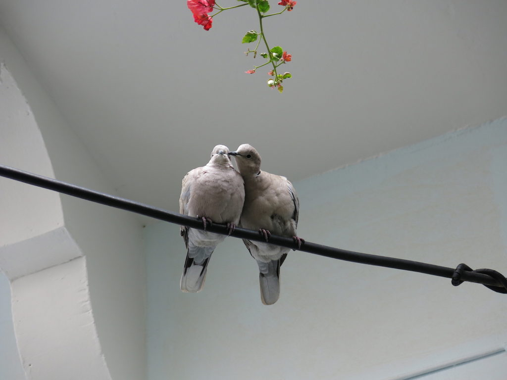 Mistletoe doves