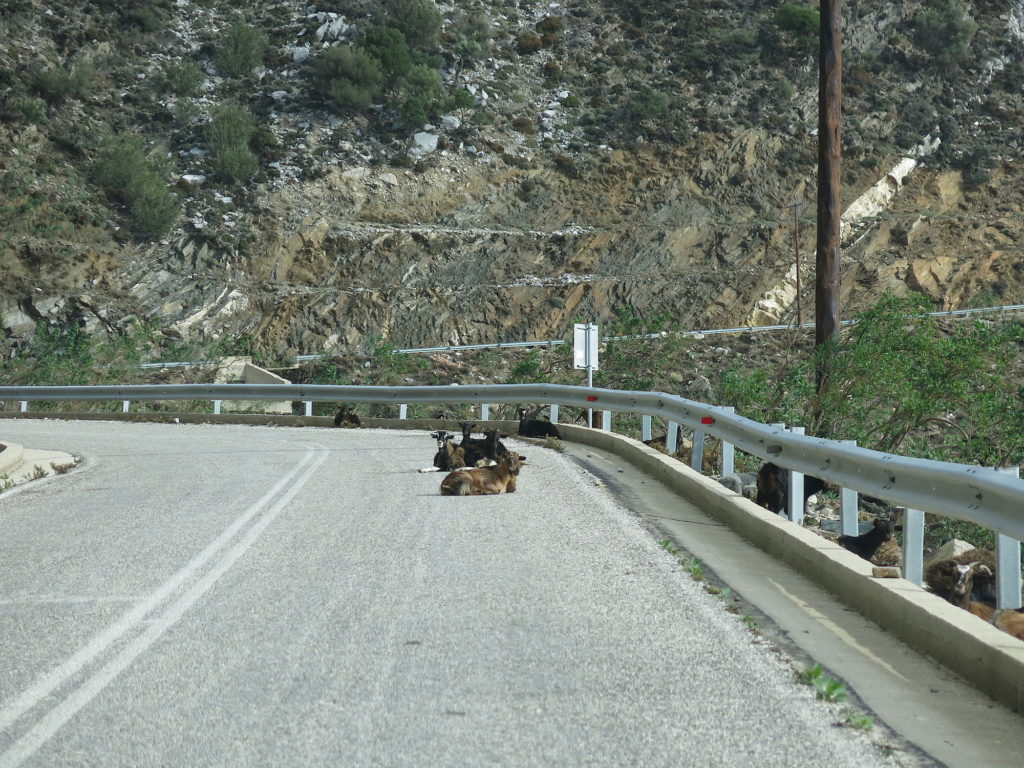Goats on Road