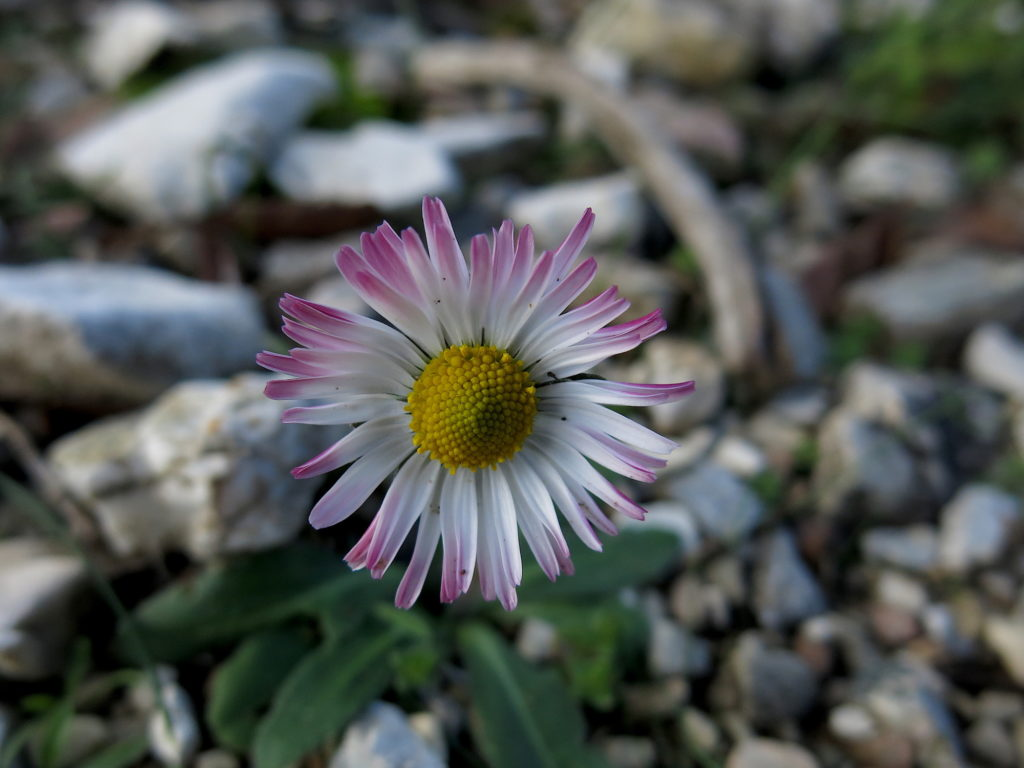Old Forest daisy