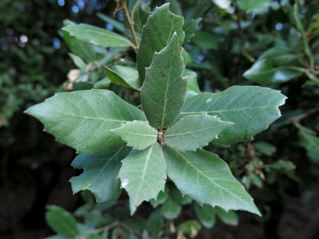 Holly Oak Leaves